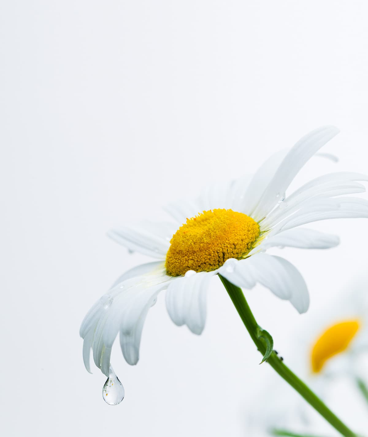 Chamomile Extracts